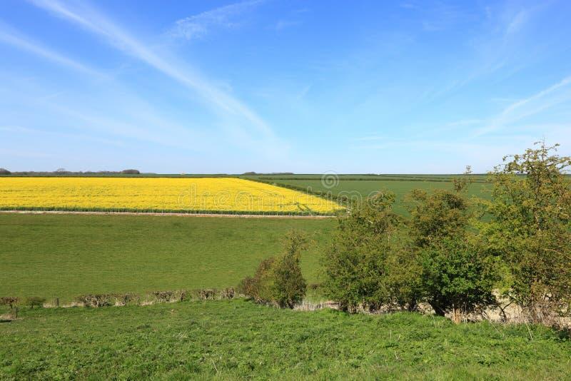 Guld- gula blomma rapsfr?- eller canolask?rdar i ett sceniskt patchworklandskap fotografering för bildbyråer