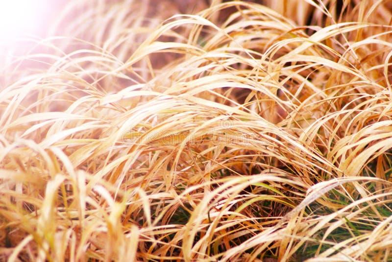 Guld- gult kort kornrårisfält som är klart för skörd fotografering för bildbyråer