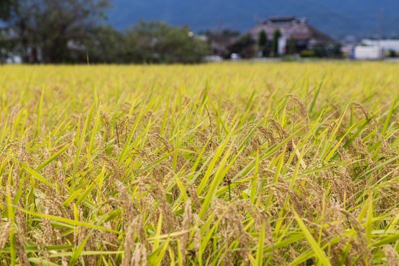 Guld- gult rårisfält som är klart för skörd royaltyfri bild