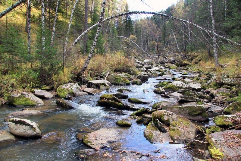 Guld- höst i den Altai regionen i Ryssland Härligt landskap - väg i höstskog arkivfoton