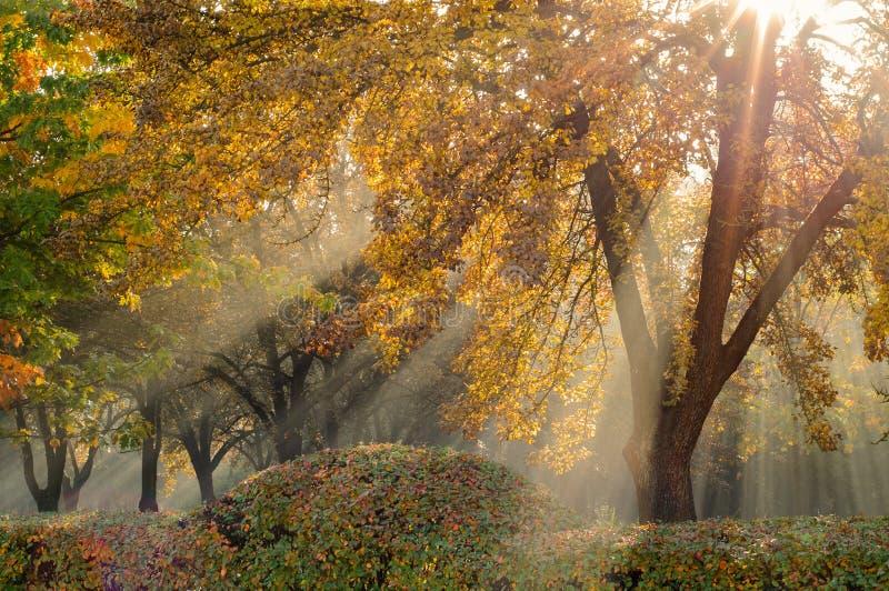 Guld- höst naturliga solstrålar i en ljus morgondimma att göra deras väg till och med filialer och fodrade träd i en höststad par arkivbild