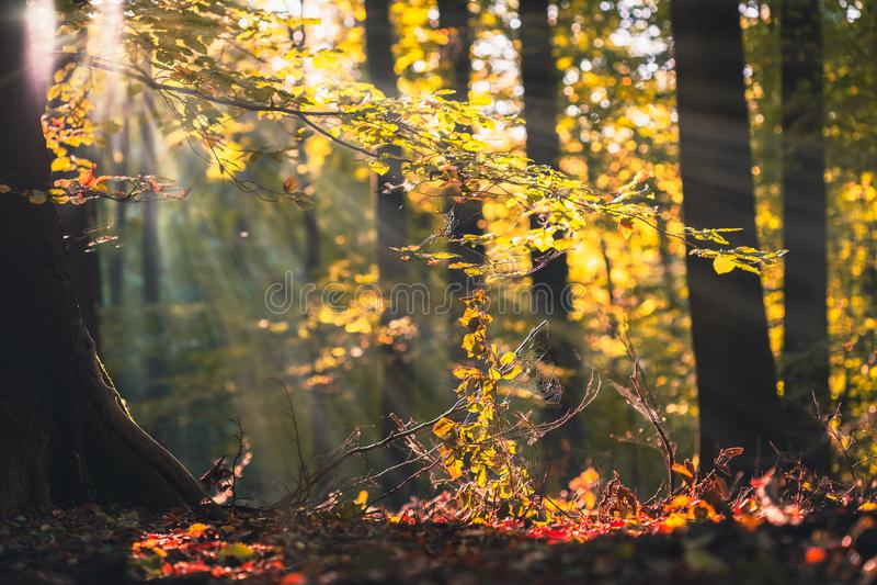 Guld- höstplats i en skog, med den fallande sidor och solen som skiner till och med träden Solen rays att komma till och med arkivbilder