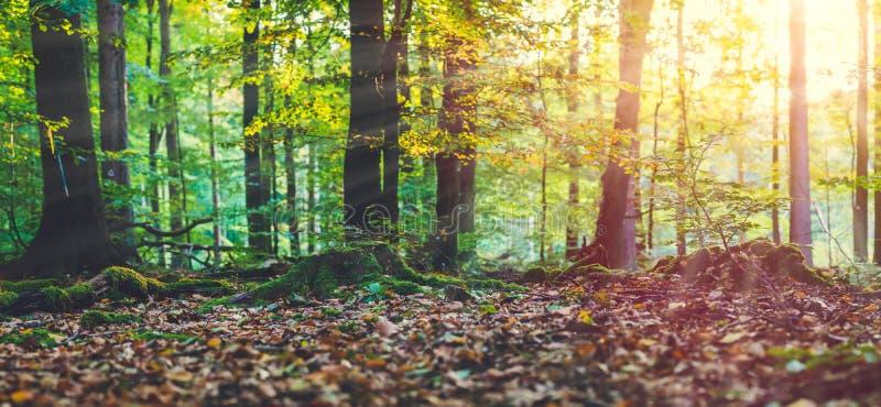 Guld- höstplats i strålar för en sol för skogafton som ljusa kommer till och med trädgulingsidorna Roots täckte vid arkivbilder