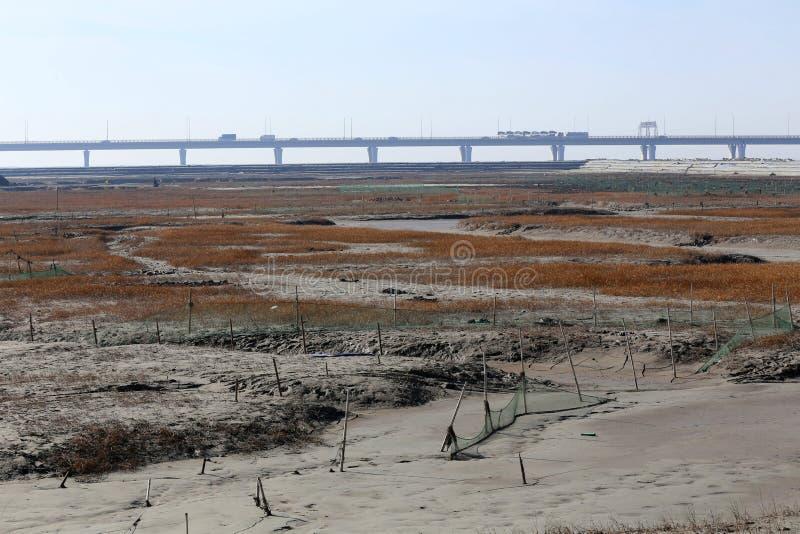 Guld- havsväxt, förtjänar i den tidvattens- lägenheten, den längsta bron i världen arkivfoto