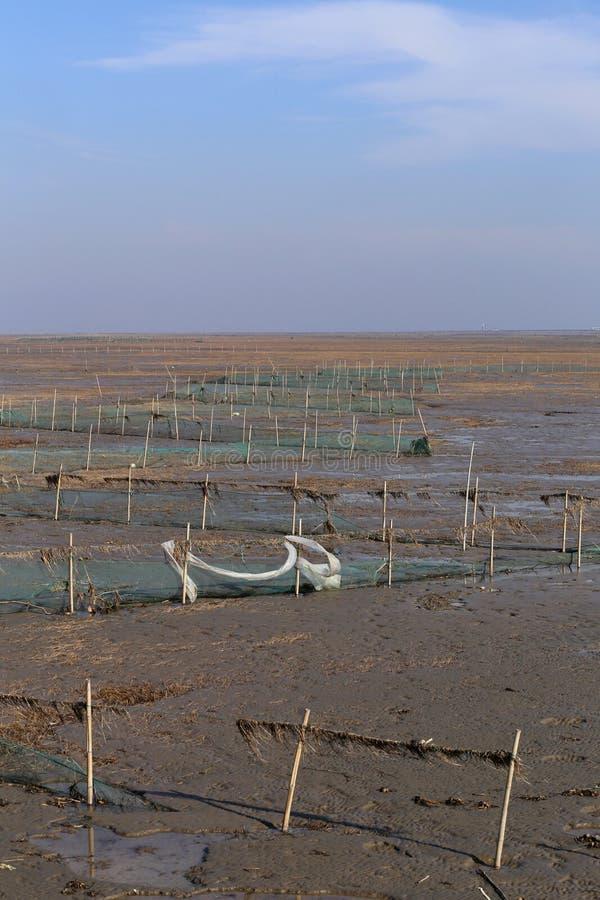 Guld- havsväxt, förtjänar i den tidvattens- lägenheten, våtmarker i vintern arkivfoto