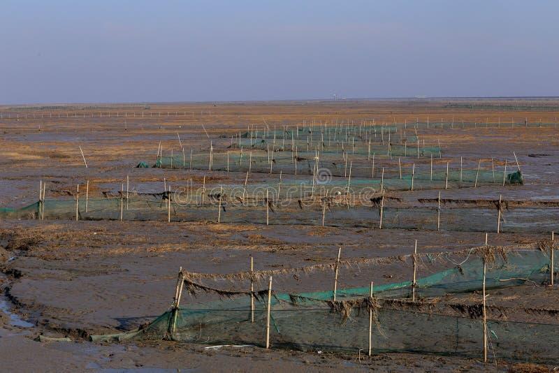 Guld- havsväxt, förtjänar i den tidvattens- lägenheten, våtmarker i vintern royaltyfri bild