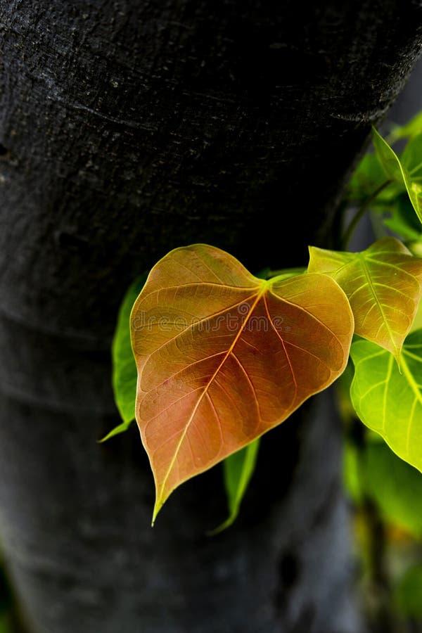 Guld- hjärtaformBodhi blad på mörk bakgrund arkivbild