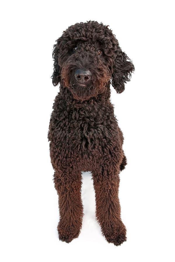 guld- klotter för svart hund royaltyfri bild
