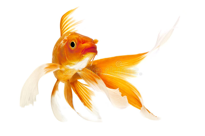 Guld- Koi fisk royaltyfri foto