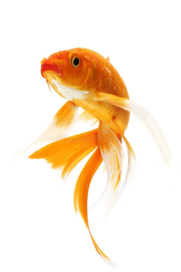 Guld- Koi fisk royaltyfri bild