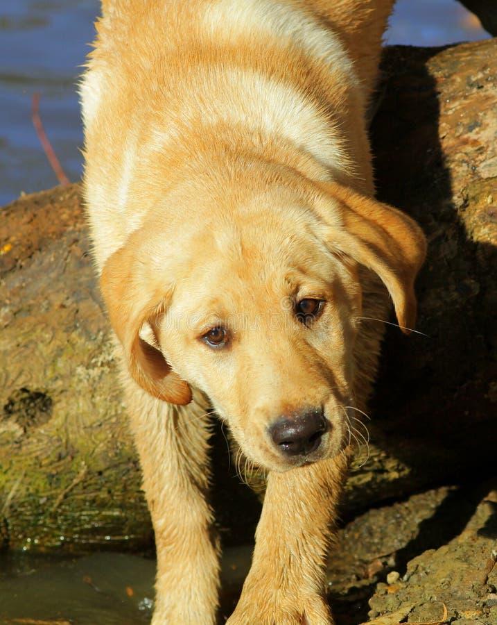 guld- labrador retriever royaltyfria bilder