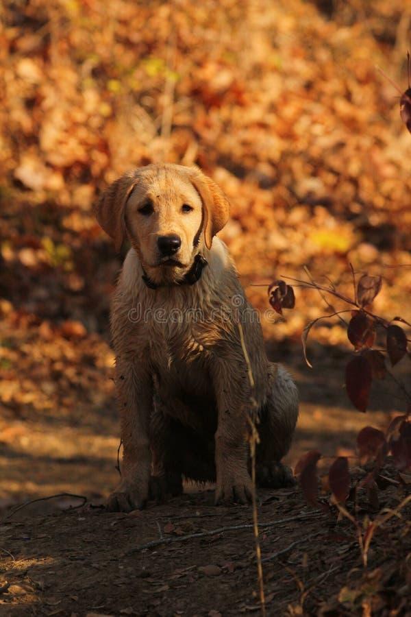 guld- labrador retriever royaltyfri fotografi
