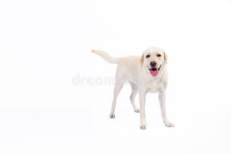 Guld- labrador retriever arkivfoton
