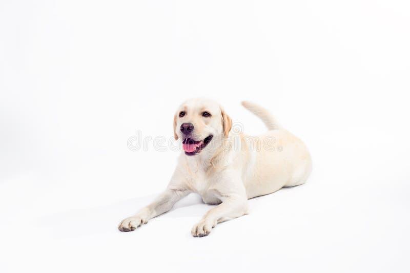 Guld- labrador retriever på en vit bakgrund arkivfoto