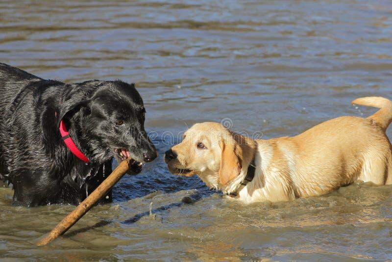 Guld- labrador, svart labrador royaltyfri foto