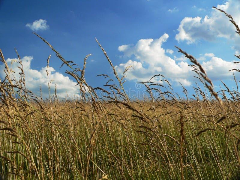guld- lantgårdfält fotografering för bildbyråer