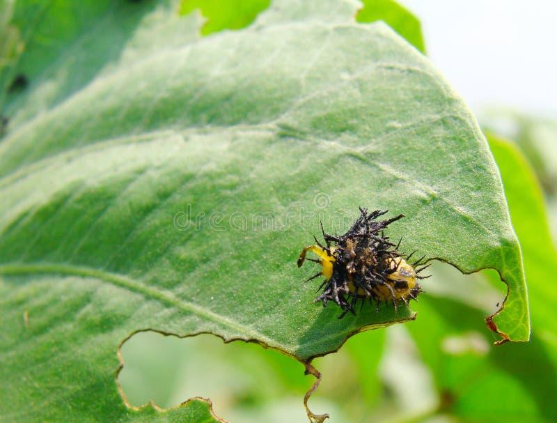 Guld- larv för sköldpaddabladskalbagge arkivfoto