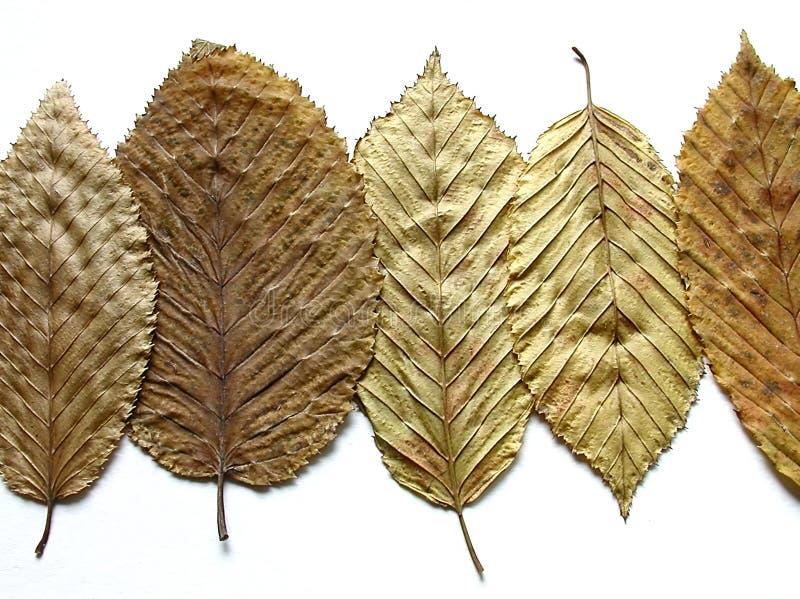 guld- leaves royaltyfri foto