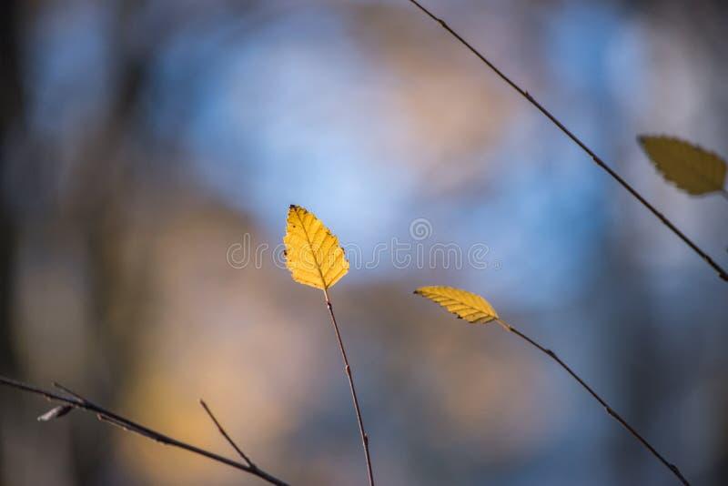 Guld- Leavs i naturlig bakgrund för nedgång arkivbild