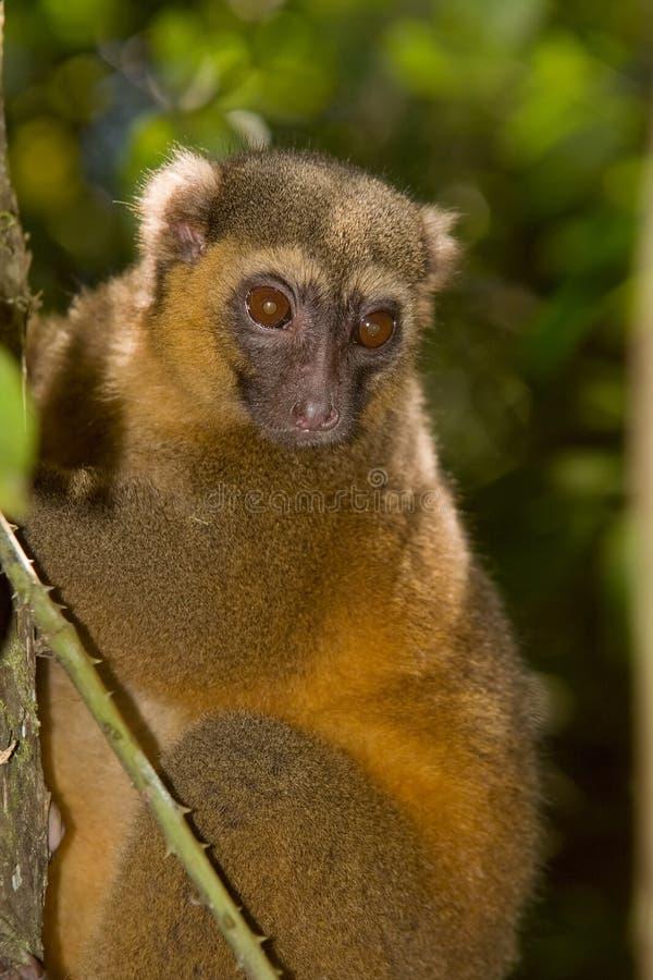guld- lemur för bambu royaltyfri fotografi