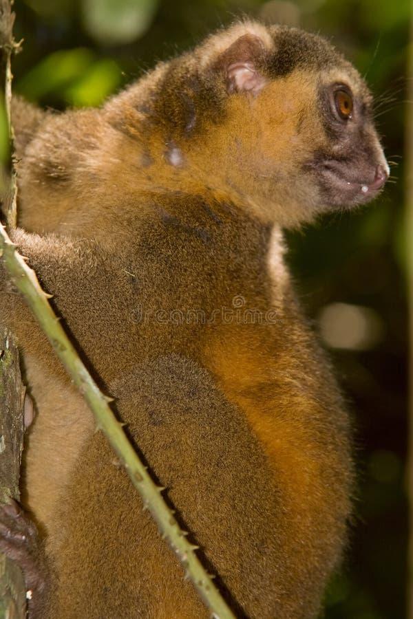 guld- lemur för bambu arkivfoto