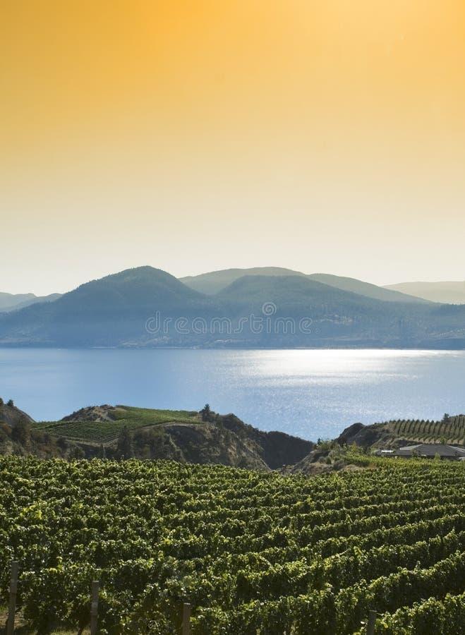 guld- ljus vingård arkivfoto