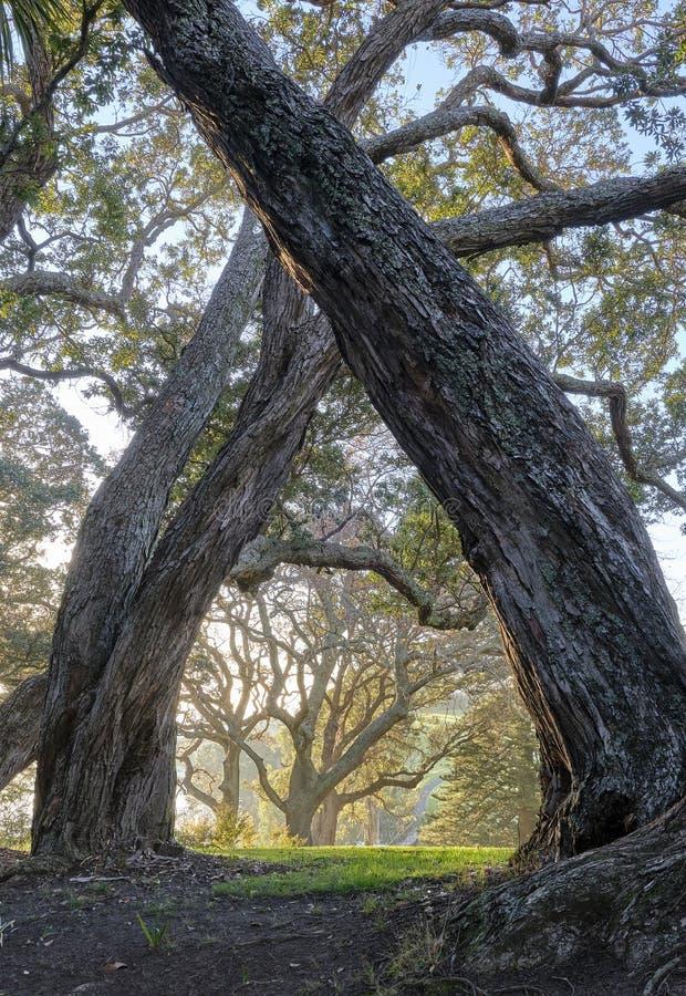 Guld- morgonljus i duvan Myer Robimson Park i Auckland Nya Zeeland royaltyfri fotografi