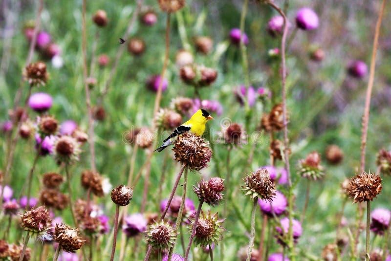 Guld och svartfink i ett fält royaltyfria foton