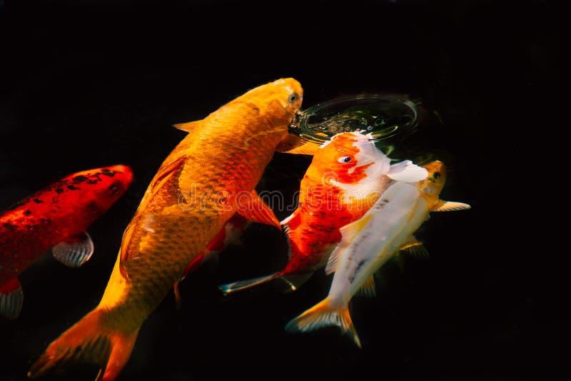 Guld- orange koikarpmatning, avbrott av yttersidan av vattnet och skapa en vattencirkel arkivbild