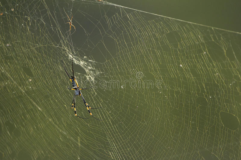 Guld- Orb-rengöringsduk spindel (nephilaen spp) Sydafrika