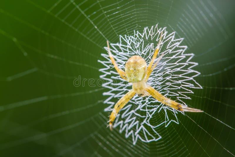 Guld- Orb-vävare spindel royaltyfri bild