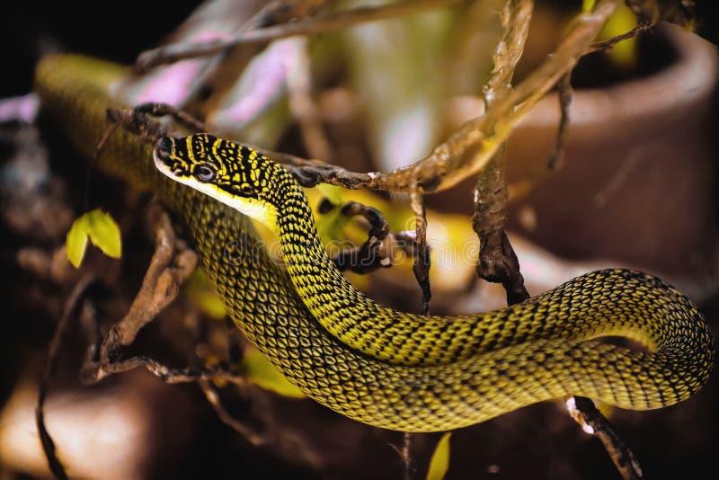 guld- ormtree fotografering för bildbyråer