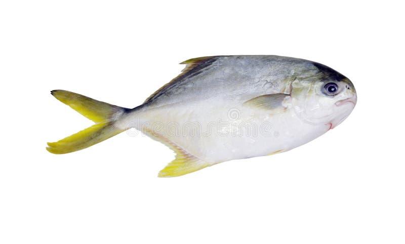 Guld- pompanofisk arkivbild