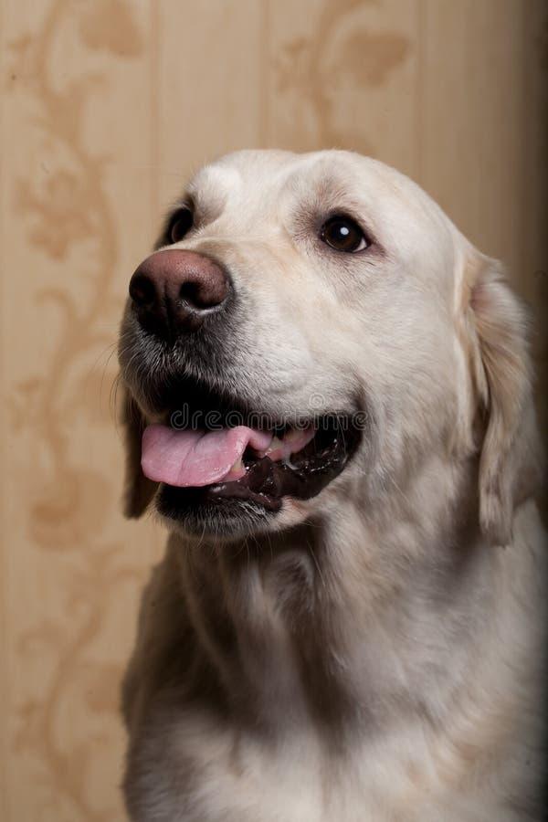 guld- retriever för härlig hund arkivfoton