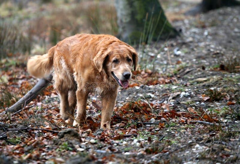 guld- retriever för hund royaltyfri foto