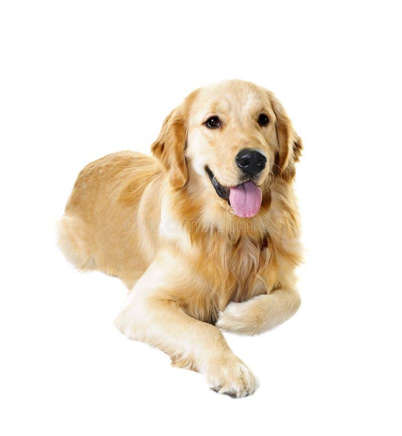 guld- retriever för hund arkivfoto