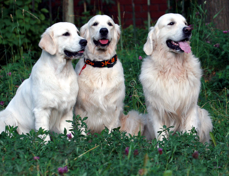 guld- retriever för hund arkivbilder