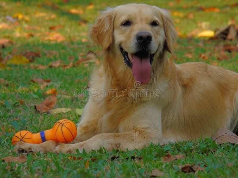 guld- retriever för hund royaltyfria foton