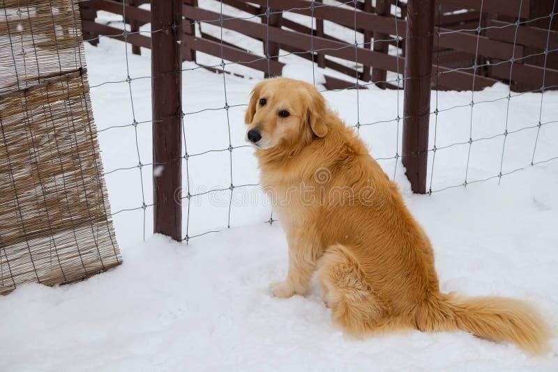 Guld- retriverhund på snö royaltyfria foton