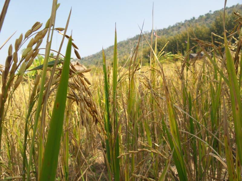 Download Guld- ris fotografering för bildbyråer. Bild av natur - 37348287