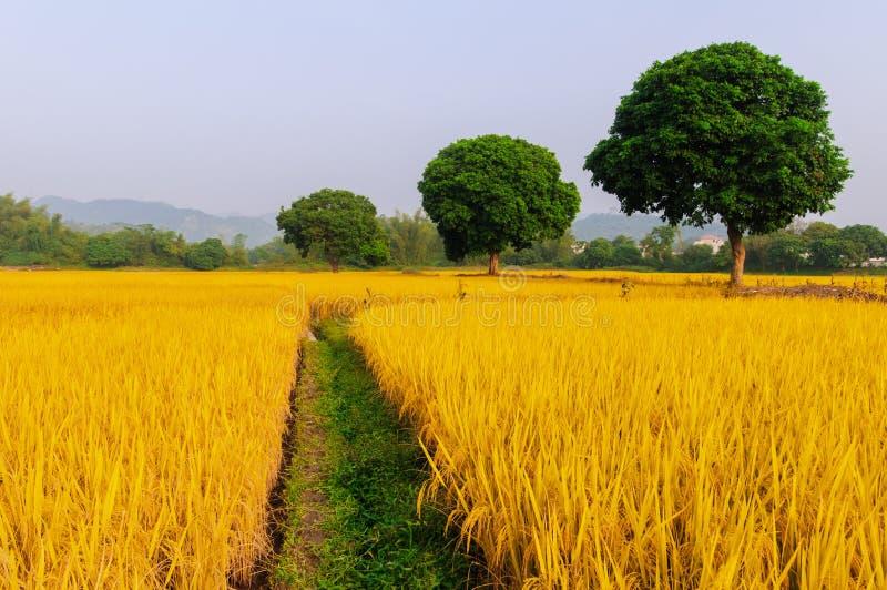 Guld- ris har tre träd arkivfoton