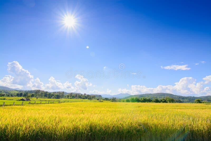 Guld- ris sparade under blå himmel och molnet i skördtid royaltyfria bilder