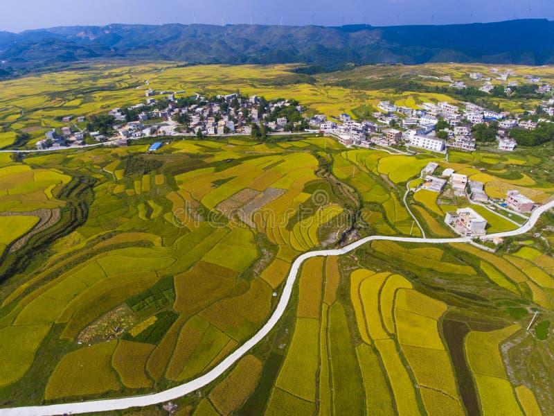 Guld- ris terrasserade fält med vägen royaltyfri foto