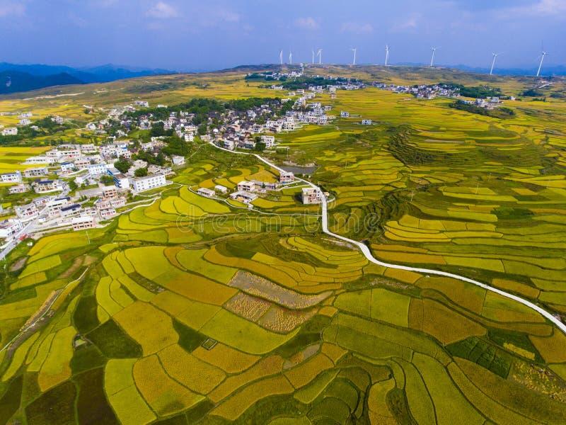 Guld- ris terrasserade fält med vägen royaltyfria bilder