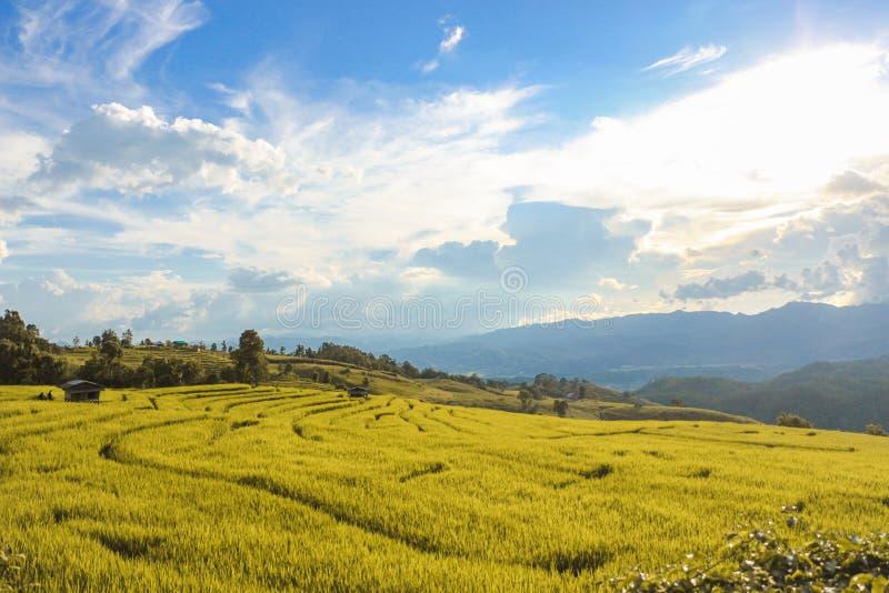 Guld- risfält i bygden av Thailand arkivfoton