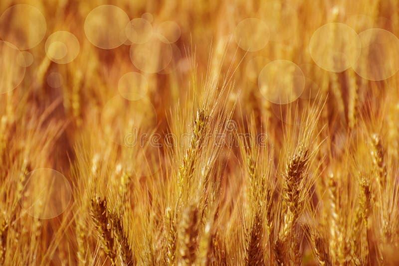 Guld- sädes- veteskördfält med öron av vete, modernt åkerbrukt begrepp arkivbilder