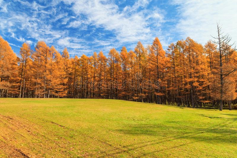 Guld- sörja trädskogen i höstsäsong, Nikko, Japan arkivbilder