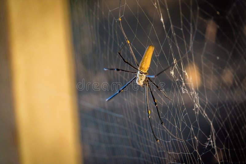 Guld- siden- orb-vävare Nephila spindel i Australien arkivbild