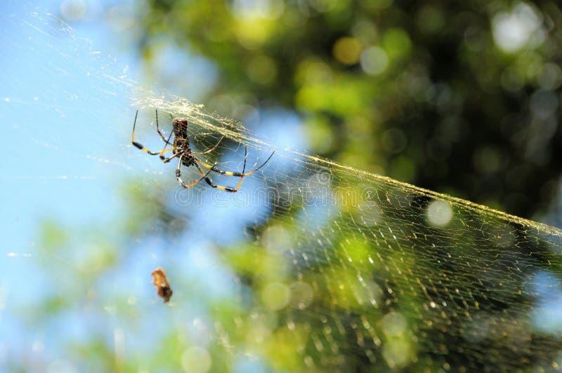 Guld- siden- orb-vävare spindel royaltyfri foto