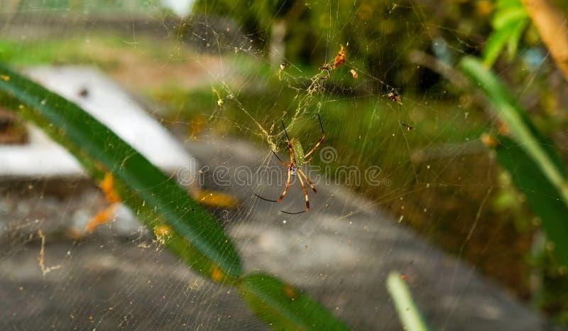 Guld- siden- orb-vävare spindel på spiderweb i Panama arkivbilder